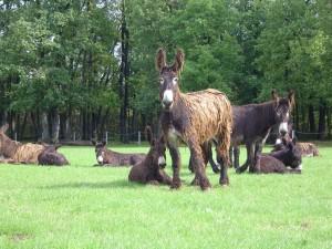 troupeau d'ânesses du Poitou