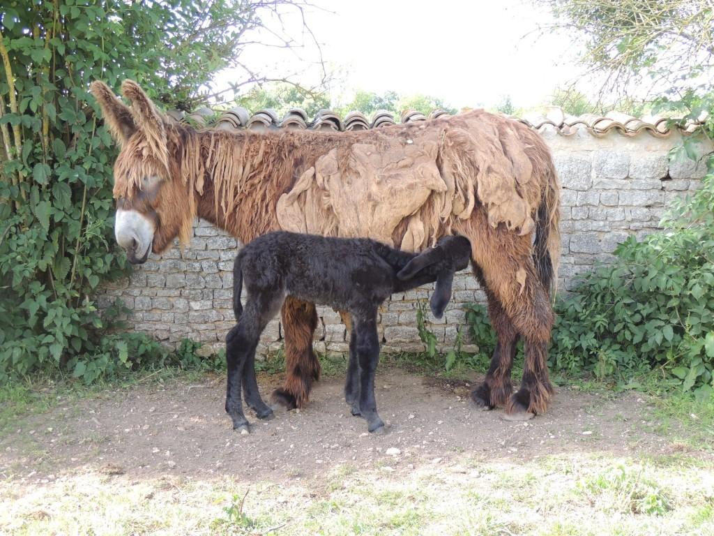 ânon du Poitou qui tète sa mère dans le jardin de l'Asinerie