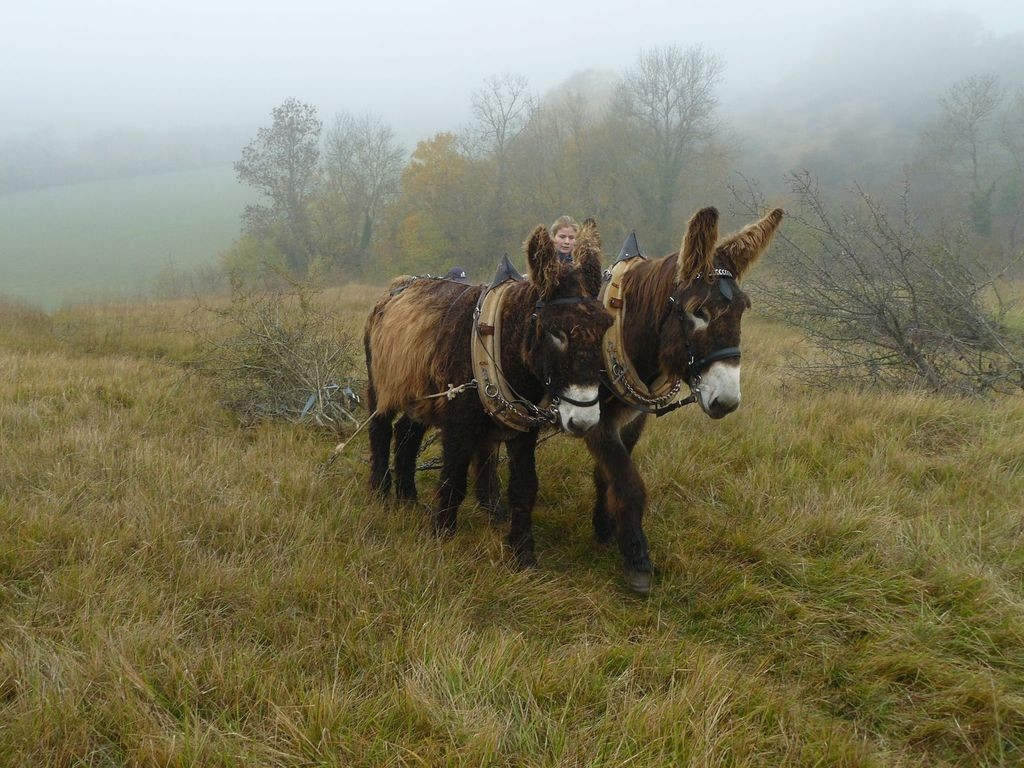 chantier traction animale en Charente-Maritime avec des Baudets du Poitou