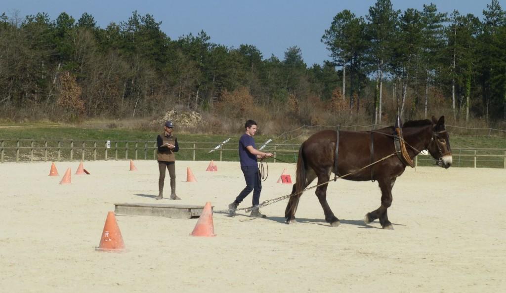 formation traction animale avec un lycée et une mule poitevine à l'Asinerie