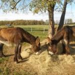 deux ânes de l'Asinerie du Baudet du Poitou