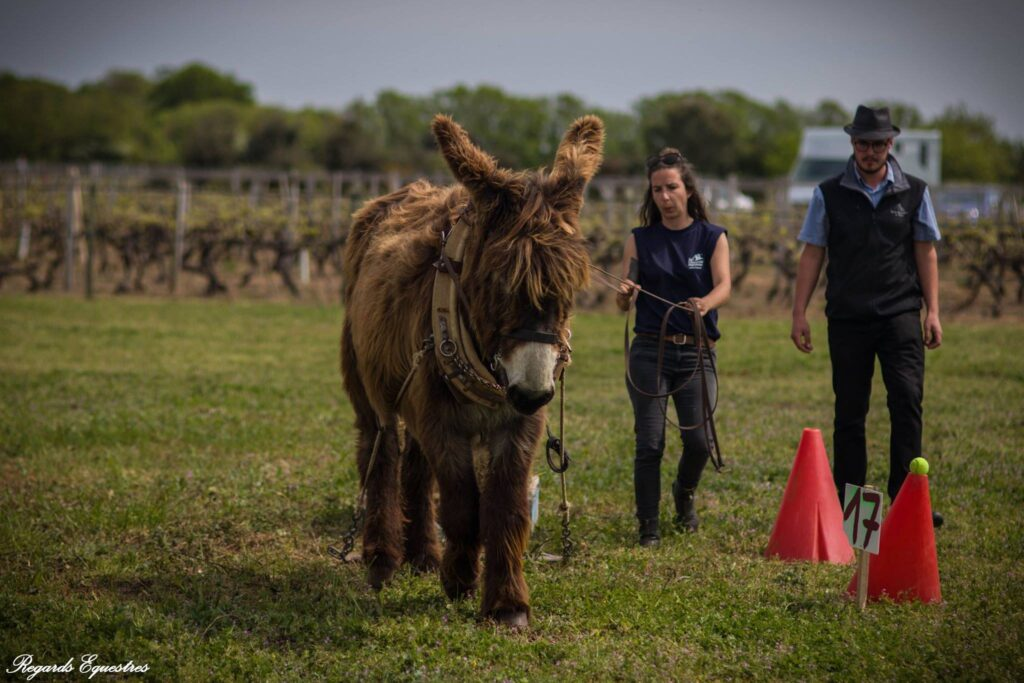handling with a Poitou donkey ©Regards equestres