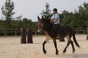 Mule poitevine montée lors d'une épreuve de dressage